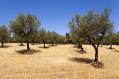 Olive Tree Fotografía de archivo libre de regalías
