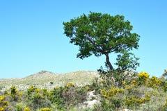 Olive tree. Royalty Free Stock Photo
