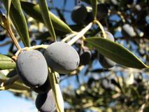 Olive on a tree. Olive and olive tree in the Catalonia region of Spain Stock Image