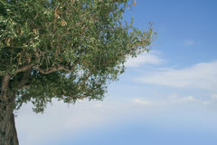 Olive tree. Closeup of an olive tree in Greece Royalty Free Stock Image