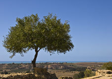 Olive tree. With blue sky on sicily Stock Photography