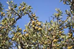 Free Olive Tree Royalty Free Stock Photography - 7009377