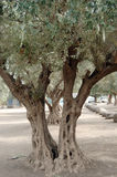 Olive tree. S growing in Israel stock image