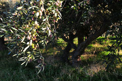 Olive tree. An olive tree full of olives Stock Photos