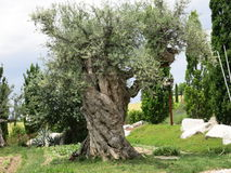Olive Tree image stock