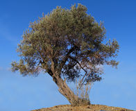 Olive tree. Against a bleu sky royalty free stock photography