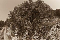 Olive tree Royalty Free Stock Photos
