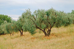 Olive tree. Field with olive tree inside Royalty Free Stock Images