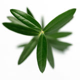 Olive tree from above. Young olive tree on a white background shot from above Royalty Free Stock Photos
