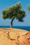 Olive tree on Aegean Sea Stock Images