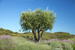 The olive tree stock photography