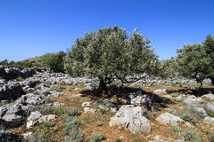 Olive tree. Against blue clear sky., Kornati - Croatia Royalty Free Stock Images