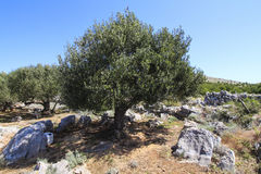 Olive tree. Against blue clear sky., Kornati - Croatia Royalty Free Stock Photos