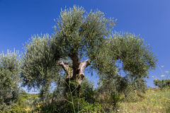 Olive tree. An olive tree against blue clear sky in Tuscany, Italy Stock Photography