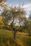 Olive tree. An olive tree against blue clear sky in Tuscany, Italy royalty free stock photo