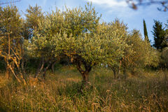 Olive tree. An olive tree against blue clear sky in Tuscany, Italy Stock Photo