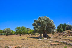 Olive tree in Agrigento - temples valley Royalty Free Stock Photo