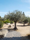 Olive tree with ancient stones Royalty Free Stock Photo
