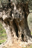 Olive tree 3. Ancient olive tree trunk. Fodele. Crete. Greece Royalty Free Stock Images