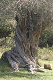 Olive tree 1. Ancient olive tree trunk. Fodele. Crete. Greece Royalty Free Stock Images