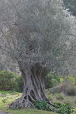 Olive tree 6. Ancient olive tree trunk. Fodele. Crete. Greece Stock Images