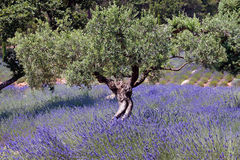 Olive Tree And Lavender Field, France 016 Stock Photo