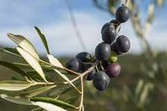 Olive tree in autumn Royalty Free Stock Photography