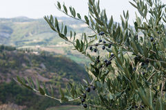 Olive tree in autumn Royalty Free Stock Photos