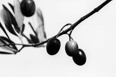 Olive tree in autumn Stock Photo