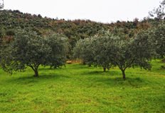 Olive tree background Royalty Free Stock Photo