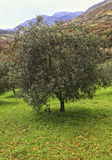 Olive tree background Royalty Free Stock Image