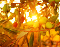 Olive tree background Royalty Free Stock Photography