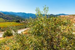Olive tree on the background of mountains, Siurana, Tarragona, Catalunya, Spain. With selective focus.  royalty free stock photos