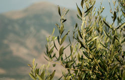Olive tree. And in the backround mountain of epirus ,village in summer greece Stock Images