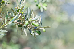 Olive tree banch Royalty Free Stock Photography