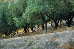 Olive tree banks in Greece Stock Photography
