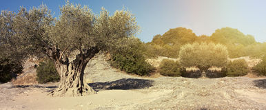 Olive tree banner Stock Photography