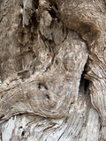Olive tree bark Background Royalty Free Stock Photo