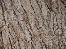 Olive tree bark Stock Photography