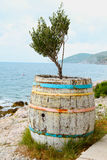 Olive tree in a barrel Royalty Free Stock Images