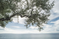 Olive tree on the beach Stock Photography
