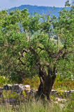 Olive tree behind ruins of old church in Toroni Stock Image
