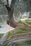 Olive tree being harvested Royalty Free Stock Images