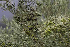 Olive tree black green olives Royalty Free Stock Image