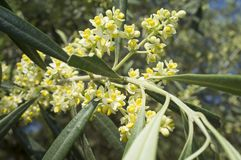 Olive tree in bloom.Closeup Stock Images