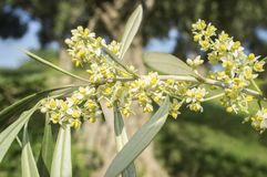 Olive tree in bloom.Closeup Royalty Free Stock Photo