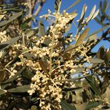 Olive tree in bloom royalty free stock photos