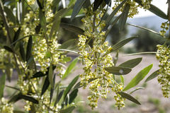 Olive tree in bloom during spring Stock Photo