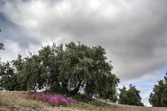 Olive tree in bloom during spring Royalty Free Stock Images
