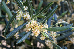 Olive tree in bloom during spring Stock Images